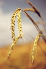 hren (swphotographie) Tags: blue summer sky orange nature field corn cornfield bokeh sommer natur cereal feld himmel crop ear blau getreide hren getreidefeld hre