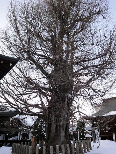 樹齢推定1250年の大イチョウです。|飛騨国分寺