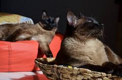 (cabenedet) Tags: cat gato gata felino siams
