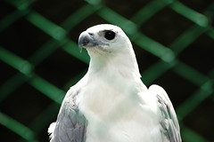 (ddsnet) Tags: bird birds zoo sony hsinchu taiwan 99 raptor  slt birdofprey      sinpu hsinpu bird  zoo zoobird    mygearandme  singlelenstranslucent 99v