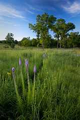 The trail through Schulenberg Prairie... (baldwinm16) Tags: sunset summer nature illinois scenic july il wildflowers blazingstar schulenbergprairie themortonarboretum illinoisprairie restoredprairie natureofthingsphotography