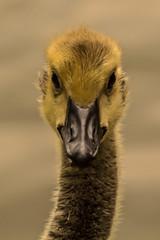 Little Quacker (Charliebubbles) Tags: