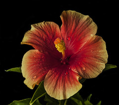 Hibiscus Textures (Bill Gracey) Tags: orange flower nature fleur yellow shadows flor textures hibiscus naturalbeauty softbox softlight sidelighting sidelit sidelight offcameraflash tabletopphotography yn560 yn560ii yongnuorf603n