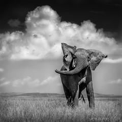 Elephant Throwing Dirt - Masai Mara, Kenya (urszulakozak) Tags: africa wild portrait blackandwhite bw toronto elephant green art nature animal canon photography buffalo kenya wildlife ottawa fineart lion zebra prints cheetah giraffe hippo lioness masaimara kozak urszula