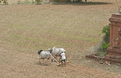 MM023 Zebus cultivating a field - Bagan (VesperTokyo) Tags: brown man green earth farm burma soil worker myanmar farmer burmese farmanimal pagan bagan zebu 牛 畑 農作業 nikond3 myanmarese 耕作 plowingfield ploughingwithoxen 牛耕