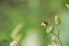 Ladybug (TyanaLin Photography) Tags: ladybug maro tyanalinphotography