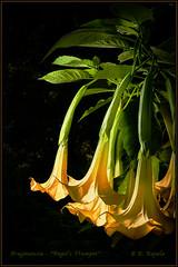 Angel Trumpet (Maclobster) Tags: flower yellow gardens angel trumpet minter drooping brugmansia keithgrajala