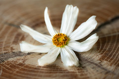 Star and circles (SolsticeSol) Tags: beautifulflowerpictures beautifulflowerimages
