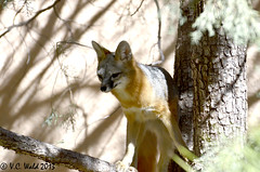 Gray fox, my presence made him nervous so he headed up his tree where I think he felt safer