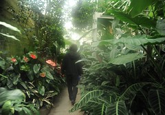Nick Boseck walks among the giant leafy green plants, lush & misty, designed by his relatives The Olmsted Brothers, Volunteer Park Conservatory, Capitol Hill, Seattle, Washington, USA (Wonderlane) Tags: seattle plants usa green misty by giant design washington walks brothers nick ui his among relatives lush leafy ux capitolhill olmsted designed the volunteerparkconservatory 3490 boseck nickboseck nickboseckwalksamongthegiantleafygreenplants designedbyhisrelativestheolmstedbrothers