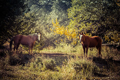 A Moment in the Forest (Bartfett) Tags: california ca autumn trees light sunset two horses horse sun tree green fall beautiful animals yellow forest canon season landscape lights julian woods farm wildlife pair posing calm double 6d