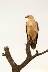 Tawny Eagle (Aquila rapax) (kerrybluett100) Tags: eagle kenya masaimara kicheche birdsofkenya canon5dmk111 canon300f28mk11