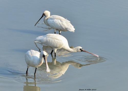 Black Faced Spoonbill (Platalea minor) Team fishing