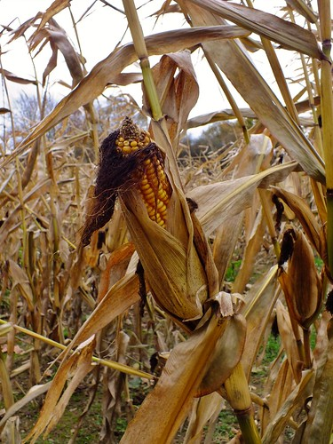 Rotting Maize field