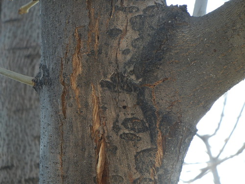 Photo - D shaped exit hole and bark splitting