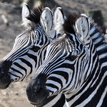 2 Burchell's Zebras (Explored 10 Dec 2013, #453) thumbnail