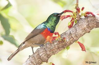 Suimanga de doble collar mayor, Greater double-collared Sunbird (Cinnyris afra)