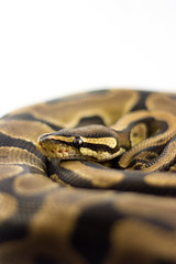 Adrastos (Julian Rossi) Tags: ballpython royalpython ball royal python pythons regius snake snakes herp herps reptile reptiles animalplanet adrastos
