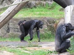 Fumo on top (myopixia) Tags: chimpanzee taronga tarongazoo kuma fumo pantroglodytes shabani myopixia