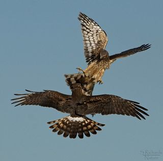 Northern harriers, females