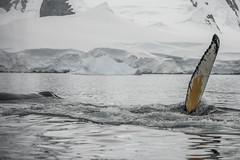 Antarctica 261 (Morten Skovgaard) Tags: travel snow cold ice expedition nature animals penguin penguins wildlife antarctica adventure seal seals iceberg zodiac polar rare plancius southpole antarktis sydpolen mortenskovgaard oceanwideexpeditions godknd