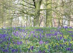 Crocuses at Sterrebos (louisamaria) Tags: park flowers holland netherlands spring purple crocus groningen krokus crocuses krokusse sterrebos