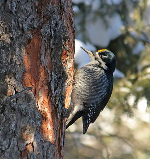 American Three-toed Woodpecker (M) - Picoides dorsalis