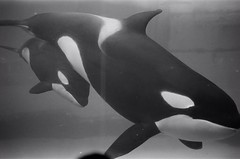 (* andrew) Tags: leica blackandwhite bw film japan zeiss 50mm aquarium kodak interior c trix rangefinder 400 carl nagoya whale mp killerwhale zm leicamp  sonnnar nagoyapublicaquarium zm50mm zm50mms csonnart1550