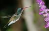 Rare Hybrid Hummingbird (John Hardison, The Old Snake Wrangler) Tags: arizona bird violet arboretum x moment rare humming thompson hdr hg aminals boyce fugitive crowned broadbill mygearandme ringexcellence infinitexposure