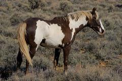 Kiger Stallion2 (David Renwald) Tags: sagebrush steensmountains kigermustangs