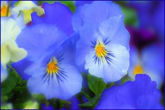 4-15-2014-Pansies-2 (Valerie Sauve-Vancouver) Tags: flowers color water vancouver spring bc effect