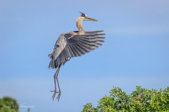 Hovering-5159 (just joani) Tags: bird nature flying spring wildlife greatblueheron