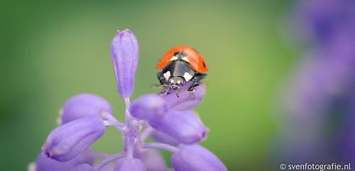 Lieveheersbeestje ontwaakt
