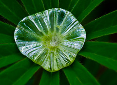 One Big Rain Drop. (Omygodtom) Tags: macro green art nature season leaf nikon dof bokeh raindrop tamron90mm naturelovers d7000