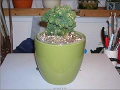 Cactus-Tillandsia-8a (cuirung) Tags: jade gollum haworthia airplant crassula felina faucaria perforata tigerjaw cactustillandsia bulbbolsa