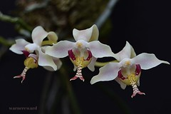 Paraphalaenopsis serpentinligua (ACEZandEIGHTZ) Tags: orchid macro nikon species potw macrophotography paraphalaenopsis doublefantasy snaketongue floralfantasy d3200 perfectpetals passionforflowers unforgettableflowers lamiasonata serpentinligua