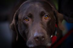 Sad Eyes -8228 (Mr Andy J C) Tags: dog scotland edinburgh labrador stockbridge chocolatelabrador waterofleith 24january2015