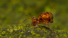 Dicyrtomina ornata (Kugelspringer) collembola (AchimOWL) Tags: macro nature animals insect tiere wildlife natur makro insekt springtail collembola raynox gm1 kugelspringer