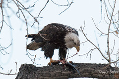 Bald Eagle devours a trout