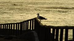 Gaviota (David's viewfinder!!) Tags: ocean sunset water birds animals fence fujifilm gaviota puntadechoros hs25exr