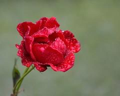 Rose 15 - from Sri Lanka -EXPLORED on 20 Feb 15 (Dunstan Fernando) Tags: red flower floral rose droplets nikon rosa srilanka botanicalgarden dunstan hakkgala d7000