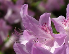Ladew Gardens ~ Azalea close up - HBW! (karma (Karen)) Tags: gardens dof azaleas bokeh blossoms maryland macros monkton ladewtopiarygardens 4spring nrhp hbw cmwdpurple bokehwednesdays harfordco