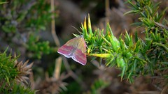 Small Purple Barred Moth (Phytometra viridaria) (Nick Dobbs) Tags: butterfly insect day purple small moth heath daytime barred heathland