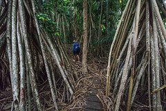 Walking through forest of Pandanus forsteri (NettyA) Tags: trees plants man forest walking person track australia nsw tall through day8 subtropical unescoworldheritage pandanus lordhoweisland 2016 lhi pandanusforsteri sonya7r janetteasche lordhoweforclimate