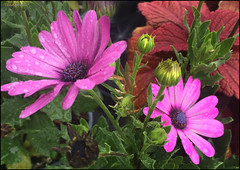 (Cliff Michaels) Tags: flowers photoshop tennessee iphone maryville walmar iphone6 pse9