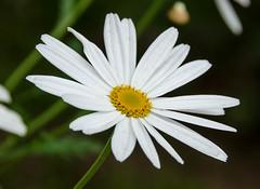 Daisy (Sarah Anne Mac) Tags: flower whiteflower daisy