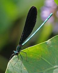 Ebony Jewelwing (Calopteryx maculata) (Mary Keim) Tags: centralflorida taxonomy:binomial=calopteryxmaculata marykeim charleshbronsonstateforest
