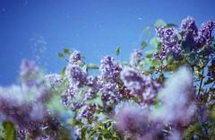 Lilas - Smell of spring (umeshuroku) Tags: flower spring nikonf100 lilas cinestill cinestill50