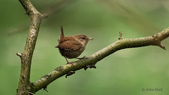 Zaunknig (Troglodytes troglodytes) (AchimOWL) Tags: bird nature animal lumix tiere outdoor wildlife natur tier vogel gx8 textur