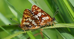Duke of Bergundy (Mating) 240516 (14) (Richard Collier - Wildlife and Travel Photography) Tags: macro wildlife ngc butterflies insects naturalhistory mating dukeofburgundy